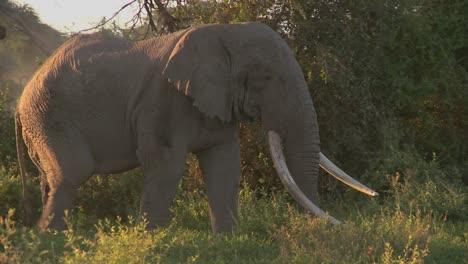 Grandes-Manadas-De-Elefantes-Africanos-Migran-Cerca-Del-Monte-Kilimanjaro-En-El-Parque-Nacional-Amboceli-Tanzania-1