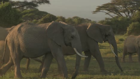 Large-herds-of-African-elephants-migrate-near-Mt-Kilimanjaro-in-Amboceli-National-Park-Tanzania-5