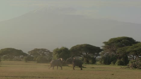 Elephants-fight-each-other-on-the-plains-of-Africa