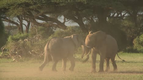 Elephants-fight-each-other-on-the-plains-of-Africa-1