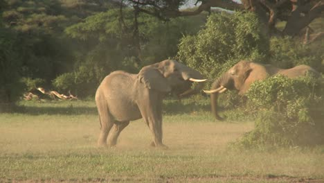 Elephants-fight-each-other-on-the-plains-of-Africa-2