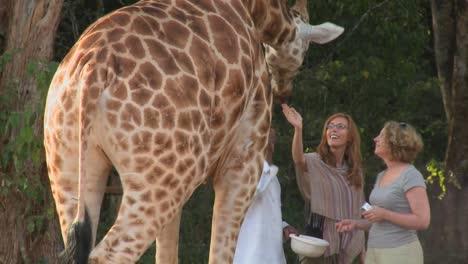 Tourists-pet-a-giraffe-in-a-zoo-setting