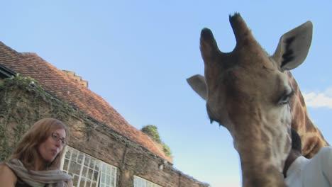 A-giraffe-gives-a-woman-a-kiss-in-Africa