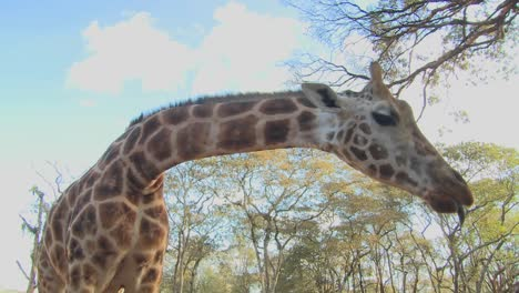 A-giraffe-is-fed-by-hand-in-Africa