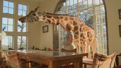 Giraffes-stick-their-heads-into-the-windows-of-an-old-mansion-in-Africa-and-eat-off-the-dining-room-table