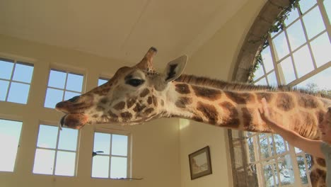 Giraffes-stick-their-heads-into-the-windows-of-an-old-mansion-in-Africa-and-eat-off-the-dining-room-table-1