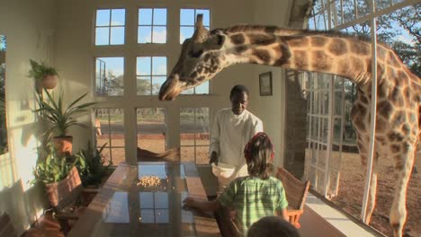 A-giraffe-sticks-its-head-through-the-window-of-a-mansion-to-get-a-free-meal