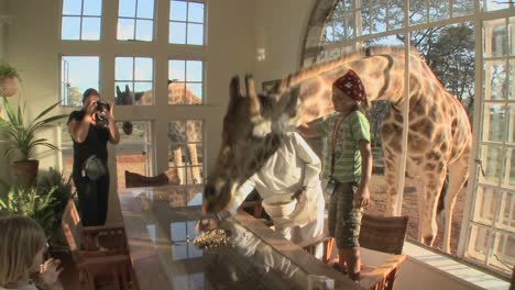 Giraffes-stick-their-heads-into-the-windows-of-an-old-mansion-in-Africa-and-eat-off-the-dining-room-table-2