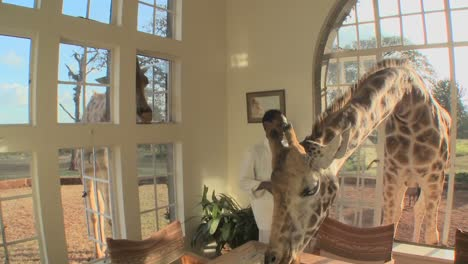 Giraffes-stick-their-heads-into-the-windows-of-an-old-mansion-in-Africa-and-eat-off-the-dining-room-table-3
