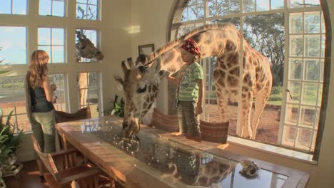 Giraffes-stick-their-heads-into-the-windows-of-an-old-mansion-in-Africa-and-eat-off-the-dining-room-table-5