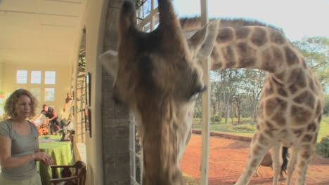 Giraffes-stick-their-heads-into-the-windows-of-an-old-mansion-in-Africa-and-eat-off-the-dining-room-table-6