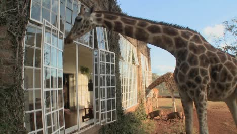 Giraffes-stick-their-heads-into-the-windows-of-an-old-mansion-in-Africa-and-eat-off-the-dining-room-table-8