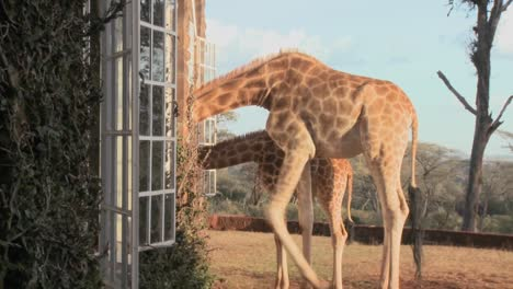 Giraffes-stick-their-heads-into-the-windows-of-an-old-mansion-in-Africa-and-eat-off-the-dining-room-table-9