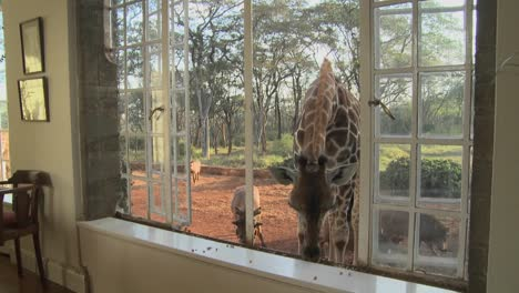 Giraffes-stick-their-heads-into-the-windows-of-an-old-mansion-in-Africa-and-eat-off-the-dining-room-table-11