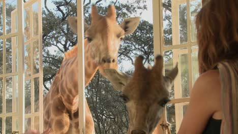 Giraffes-stick-their-heads-into-the-windows-of-an-old-mansion-in-Africa-and-eat-off-the-dining-room-table-12