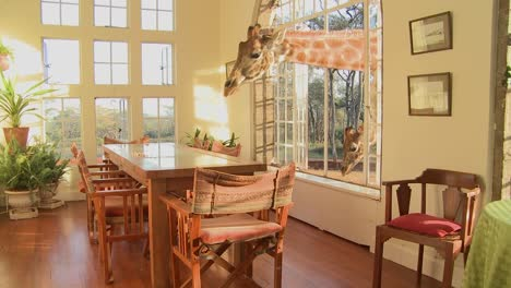 Giraffes-stick-their-heads-into-the-windows-of-an-old-mansion-in-Africa-and-eat-off-the-dining-room-table-13