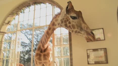 Giraffes-stick-their-heads-into-the-windows-of-an-old-mansion-in-Africa-and-eat-off-the-dining-room-table-14