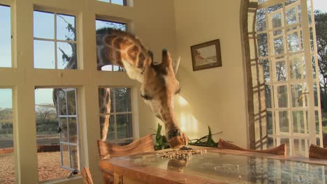 Giraffes-stick-their-heads-into-the-windows-of-an-old-mansion-in-Africa-and-eat-off-the-dining-room-table-15