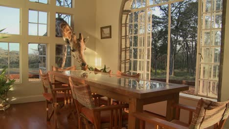 Giraffes-stick-their-heads-into-the-windows-of-an-old-mansion-in-Africa-and-eat-off-the-dining-room-table-16