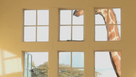 Giraffes-stick-their-heads-into-the-windows-of-an-old-mansion-in-Africa-and-eat-off-the-dining-room-table-17