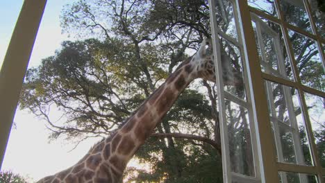 Giraffes-mill-around-outside-an-old-mansion-in-Kenya