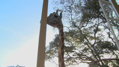Giraffes-mill-around-outside-an-old-mansion-in-Kenya-1