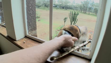 A-giraffe-outside-a-second-story-window-in-Africa-getting-food-with-his-tongue