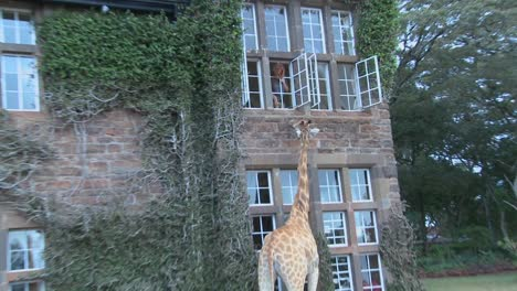 Giraffes-mill-around-outside-an-old-mansion-in-Kenya-4
