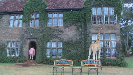 Giraffes-mill-around-outside-an-old-mansion-in-Kenya-5