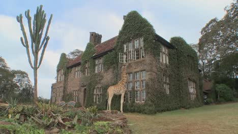 Giraffes-mill-around-outside-an-old-mansion-in-Kenya-8