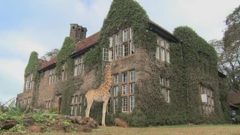 Giraffes-mill-around-outside-an-old-mansion-in-Kenya-9