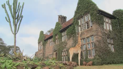 Giraffes-mill-around-outside-an-old-mansion-in-Kenya-10