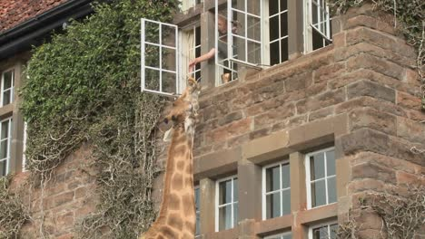 Giraffes-mill-around-outside-an-old-mansion-in-Kenya-11