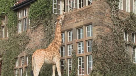 Giraffes-mill-around-outside-an-old-mansion-in-Kenya-12