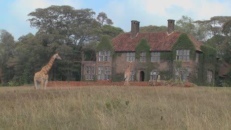 Giraffes-mill-around-outside-an-old-mansion-in-Kenya-15
