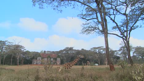 Giraffes-mill-around-outside-an-old-mansion-in-Kenya-16