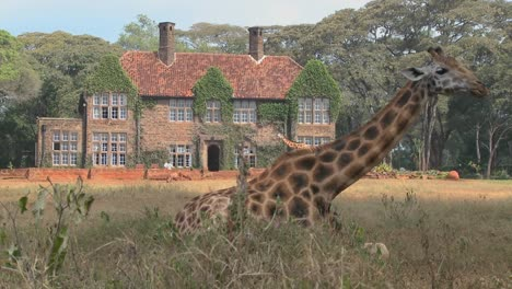 Giraffes-mill-around-outside-an-old-mansion-in-Kenya-17