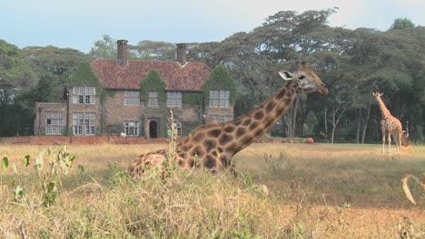 Giraffes-mill-around-outside-an-old-mansion-in-Kenya-18