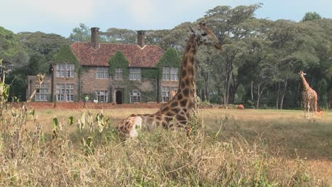 Giraffes-mill-around-outside-an-old-mansion-in-Kenya-19