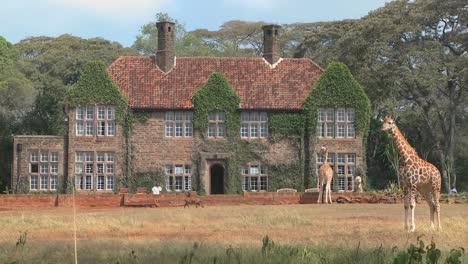 Giraffes-mill-around-outside-an-old-mansion-in-Kenya-20