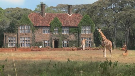 Giraffes-mill-around-outside-an-old-mansion-in-Kenya-21