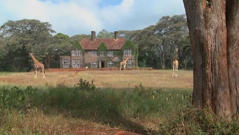 Giraffes-mill-around-outside-an-old-mansion-in-Kenya-22