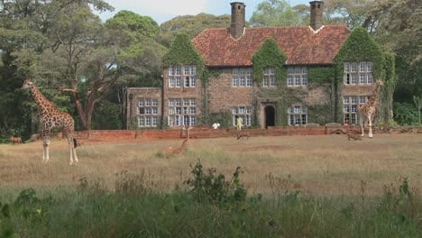 Giraffes-mill-around-outside-an-old-mansion-in-Kenya-23