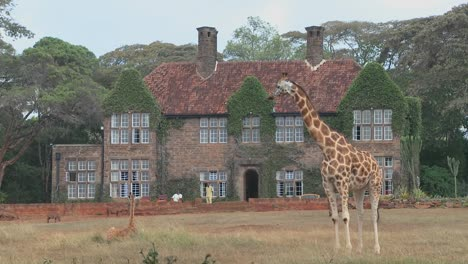 Giraffes-mill-around-outside-an-old-mansion-in-Kenya-24