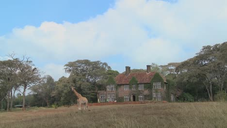 Giraffes-mill-around-outside-an-old-mansion-in-Kenya-25