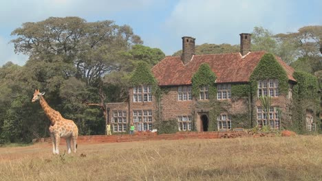 Giraffes-mill-around-outside-an-old-mansion-in-Kenya-26
