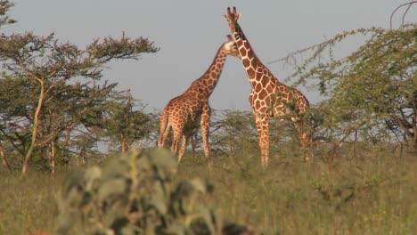 Two-giraffes-graze-on-the-African-plains
