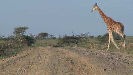 African-giraffes-cross-the-road