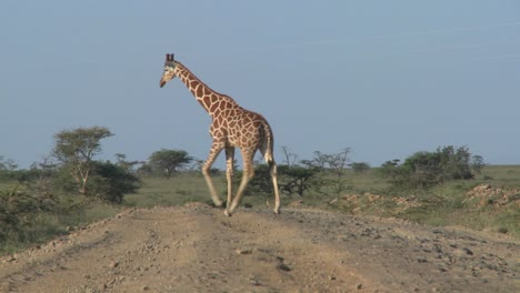 Two-African-giraffes-cross-the-road