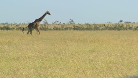 A-giraffe-crosses-a-golden-savannah-in-Africa
